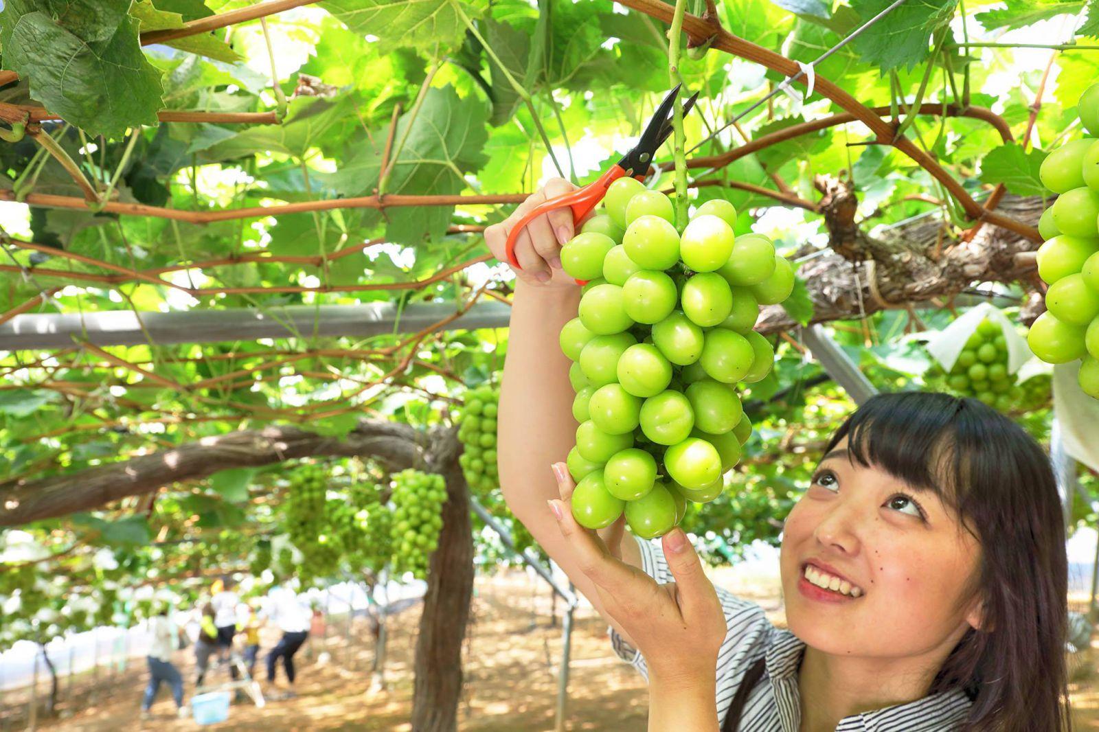 Nho Mẫu Đơn Shine Muscat Okayama Nhật Bản - MP Fruit